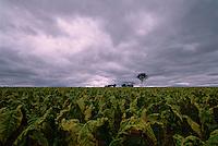 Last Harvest, Schincariol's Farm, Dimbulah, 2003.