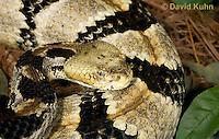 0601-0908  Timber Rattlesnake (Canebrake Rattlesnake), Crotalus horridus  © David Kuhn/Dwight Kuhn Photography