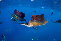 Mark Strickland and Jesse Cancelmo (background) photograph Atlantic sailfish, Istiophorus albicans, attacking bait ball of Spanish sardines (aka gilt sardine, pilchard, or round sardinella), Sardinella aurita, off Yucatan Peninsula, Mexico (Caribbean Sea)
