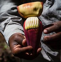 Tanzania.  Mto wa Mbu. Banana Plantation, Showing Banana Blossom or Banana Flower (Purple), and Florets (Yellow), which develop into bananas.