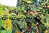 Branche de café vert
