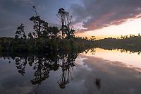 Kahikatea trees reflecting in Gillespies Lagoon at sunset, Westland Tai Poutini National Park, West Coast, South Westland, UNESCO World Heritage Area, New Zealand, NZ