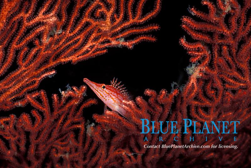 long-nose or longnose hawkfish, Oxycirrhitus typus, on sea fan, Vitu Islands, Bismarck Archipelago, Papua New Guinea (Bismarck Sea / Western Pacific Ocean)