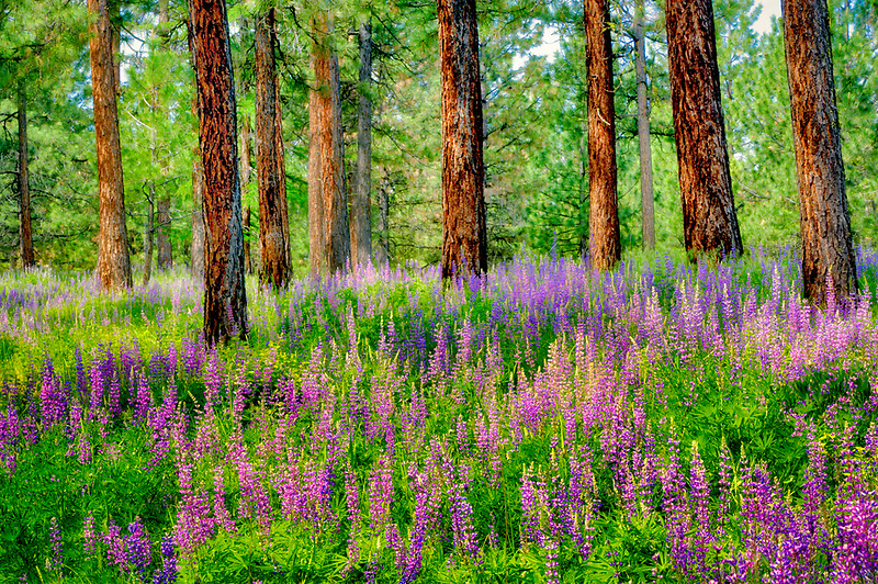 Lupines and Ponderosa Pine trees. Wallowa County. Oregon