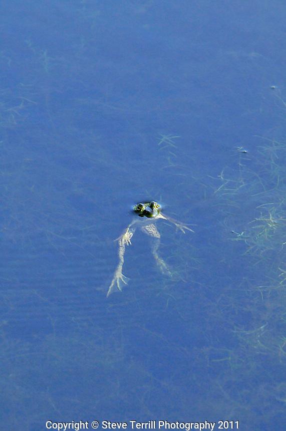 Frog in Cornstalk slough in Marion County Oregon