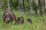Tom turkeys strutting for a hen decoy in northern Wisconsin.
