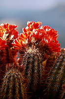 Detail close up of backlit Claret-cup Hedgehog cactus (Echinocereus trilochidiatus)in full bloom. Arizona.
