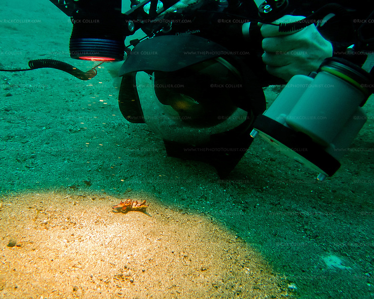 My dive buddy approaches a flamboyant cuttlefish (&quot;Pfeffer's Flamboyant Cuttlefish,&quot; <em>Metasepia pfefferi</em>) on the sandy bottom of the Lembeh Strait.  The cuttlefish is that tiny little lump, surrounded and dwarfed by camera lens, lights and strobes.  We came across a number of flamboyant cuttlefish in the sand along the bottom of the Lembeh Strait.  This is a very small beastie; the ones we saw were between two and four inches (say, about 5 to 10 cm) long, including tentacles.  Normally its coloration is very drab -- dull shades of brown, looking like a rock on the sandy bottom where it lives, &quot;walking&quot; around the bottom using its lower arms (tentacles).  But it adopts bright, almost pulsating shades of red, purple, and pink with that distinctive yellow border when disturbed (for instance, by a hulking diver shoving a large camera lens into its &quot;face&quot;).