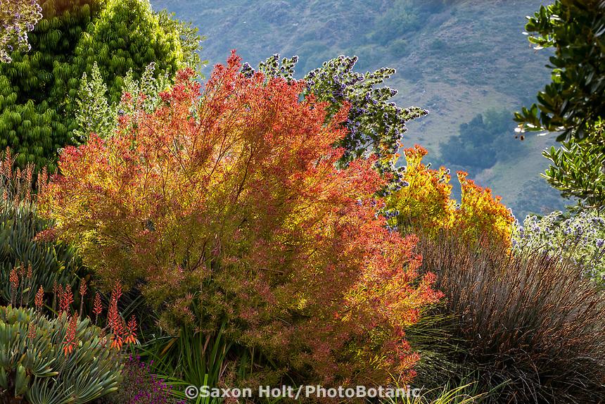 Leucadendron salignum, Willow Cone Bush or Sunshine conebush, South African shrub in drought tolerant, summer-dry border; Leaning Pine Arboretum, San Luis Obispo, California