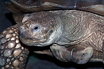 african spur-thighed tortoise, close-up