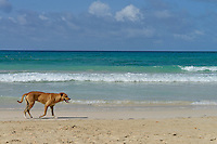 Lonely dog wandering on beach by turquoise lagoon, Punta Cana, Dominican Republic