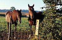 Belgien, Flandern, Pferd in Westtrabant
