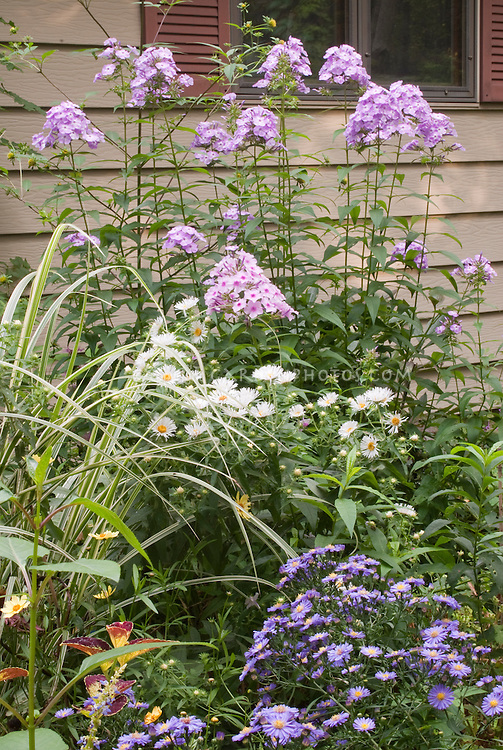 Phlox paniculata 'David's Lavender', Aster novae-angliae 'Chilly Winds', Aster dumosus 'Sapphire'