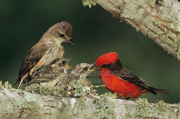 Vermillion Flycatcher, Pyrocephalus rubinus,male feeding young in nest female is watching, Lake Corpus Christi, Texas, USA