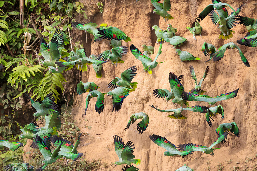 Mealy Parrots (Amazona farinosa) feeding at the wall of a clay lick. Blanquillo Clay Lick, Manu Biosphere Reserve, Peru. November.