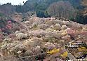 Plum blossoms at Yoshino Plum Garden