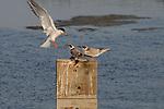 Tern Feeding Chicks 2