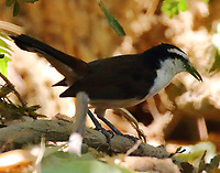 Bi-colored wren