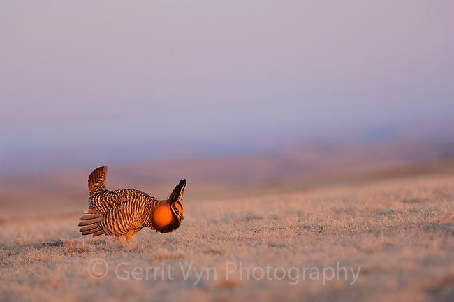 A lone male Greater Prairie-Chicken booming on a vanishing lek. Ft. Pierre National Grassland, South Dakota.