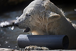MAIN PHOTO:  An inquisitive polar bear uses a pipe as a telescope.  The young female bear lives with its mother in a large zoo enclosure with rocks, caves, a water basin and plenty of toys.<br /> <br /> The one year old, called Finja, is said to be very curious, and loves to explore and play.  These photos were taken by amateur photographer Ina Schieferdecker at the Schönbrunn Zoo in Vienna, Austria.  SEE OUR COPY FOR DETAILS.<br /> <br /> Please byline: Ina Schieferdecker/Solent News<br /> <br /> © Ina Schieferdecker/Solent News & Photo Agency<br /> UK +44 (0) 2380 458800