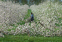 A worker removes flowering branches from pruned apple trees at Lynd's Fruit Farm in Pataskala, Ohio, as the orchard is prepared for growing season.<br />