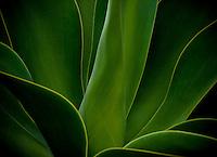 Century Plant, Agave Americana