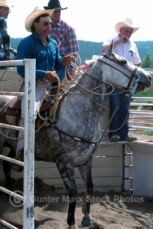 Cowboy with Lasso in Mouth riding Horse, ready in the Chute for Rodeo Calf Roping (Tie Down Roping)