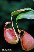 CA16-025a  Pitcher Plant - Borneo - Nepenthes bicalcarata