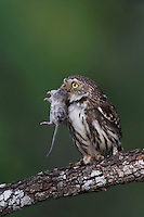 Ferruginous Pygmy-Owl, Glaucidium brasilianum, adult with mouse prey, Willacy County, Rio Grande Valley, Texas, USA, May 2007