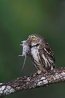 Ferruginous Pygmy-Owl, Glaucidium brasilianum, adult with mouse prey, Willacy County, Rio Grande Valley, Texas, USA, May 2007