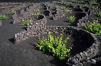 Europe/Espagne/Canaries/Lanzarote/Parc National du Timanfaya : Paysage volcanique de la Geria et vignes