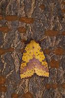 Violett-Gelbeule, Weiden-Gelbeule, Weidengelbeule, Xanthia togata, Pink-barred Sallow. Eulenfalter, Noctuidae, noctuid moths, noctuid moth