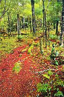 Bush scene with a carpet of red berries on Rakiura/Stewart Island - Rakiura National Park, Southland, New Zealand