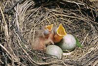 Wacholderdrossel, Ei, Eier, Gelege und bettelnde, sperrende Küken im Nest, Wacholder-Drossel, Turdus pilaris, fieldfare