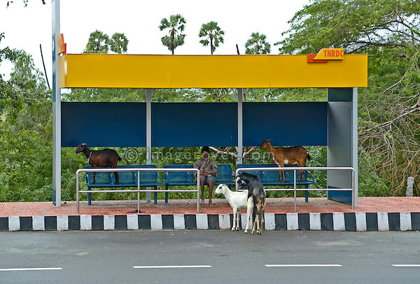 India, Tamil Nadu 2005. Lonely indian man and some goats at a bus stop between Pondicherry and Chennai (Madras).
