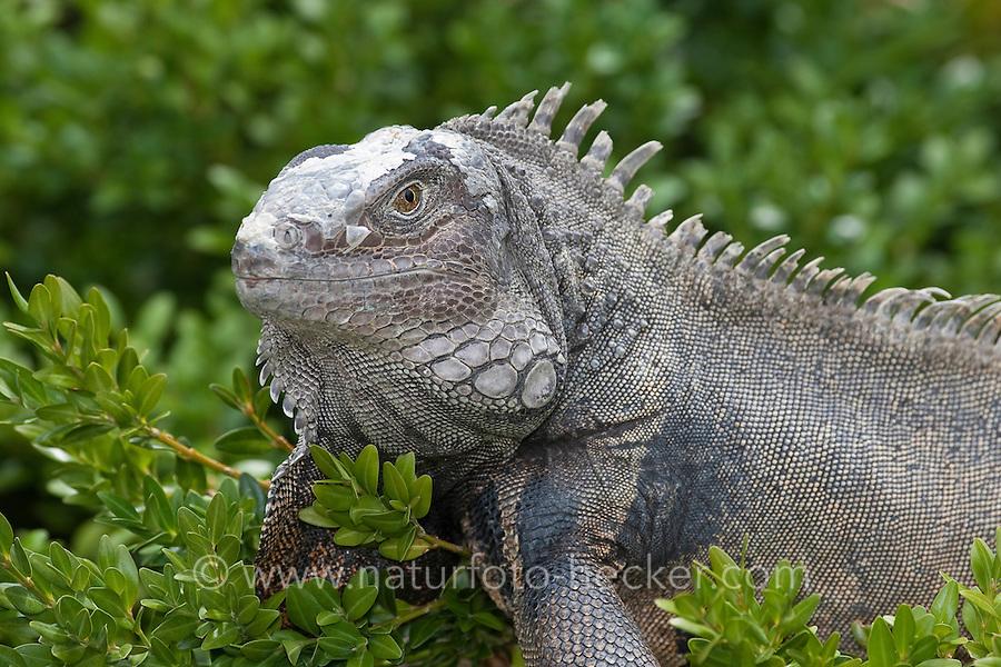 Grüner Leguan, Iguana iguana, Green Iguana, Common Iguana, Leguane, Iguanidae