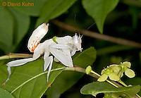 "0610-07tt  Malaysian Orchid Mantis Cleaning Itself - Hymenopus coronatus ""Nymph"" - © David Kuhn/Dwight Kuhn Photography"