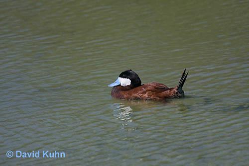 0825-0905  Male Ruddy Duck, Oxyura jamaicensis © David Kuhn/Dwight Kuhn Photography