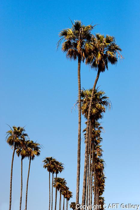 Palm trees, Corona del Mar, CA.