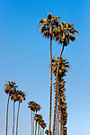Palm trees, Corona del Mar, CA.