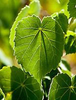 A close-up of the leaves of the rare ko'oloa'ula plant in 'Ewa on O'ahu.