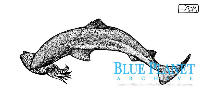Gulper shark, Centrophorus granulosus, capturing common cuttlefish, Sepia officinalis, pen and ink illustration.