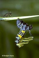 1C02-027z  Seven-spotted Ladybug larva molting skin, aphid on stem, Coccinella septempunctata
