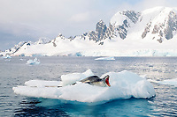 leopard seal, Hydrurga leptonyx, on ice floe, Paradise Bay, Antarctic Peninsula