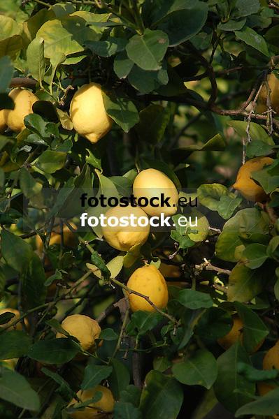 Lemon tree<br /> <br /> Limonero<br /> <br /> Zitronenbaum<br /> <br /> 3008 x 2000 px
