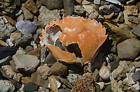 Crab Shell, Sheep Island, Castine, Maine, US