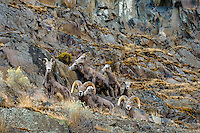 Small group of bighorn sheep (Ovis canadensis) on steep hillside near the John Day and Columbia Rivers in North Central Oregon.  October.  Note: These sheep were formerly known as California Bighorn, but are now classified with Rocky Mountain Bighorn.