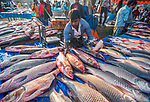 Hundreds of fish are laid out for sale at a bustling fish fair held every year.  Huge rohu, catla and carp are presented for villagers who come from miles away to see the fishermen's haul.<br /> <br /> The 'fair' or 'festival' is known as 'Nabanna' and takes place in Northern Bangladesh near Bogra.  SEE OUR COPY FOR DETAILS.<br /> <br /> Please byline: Abdul Momin/Solent News<br /> <br /> © Abdul Momin/Solent News & Photo Agency<br /> UK +44 (0) 2380 458800