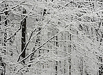 Trees in snow Northern Virginia blizzard of 2010 February 9-10 and 25-27 in Mid-Atlantic States rivaling the Knickebocker storm of 1922 Snowmageddon Snowpocalypse,