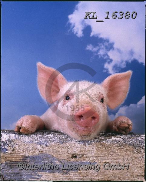 Interlitho-Alberto, ANIMALS, REALISTISCHE TIERE, ANIMALES REALISTICOS, pigs, photos+++++,little pig,heaven,KL16380,#a#, EVERYDAY
